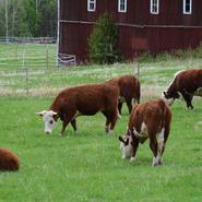 Härjedalen upphandlar kossor och främjar lokala jordbrukare