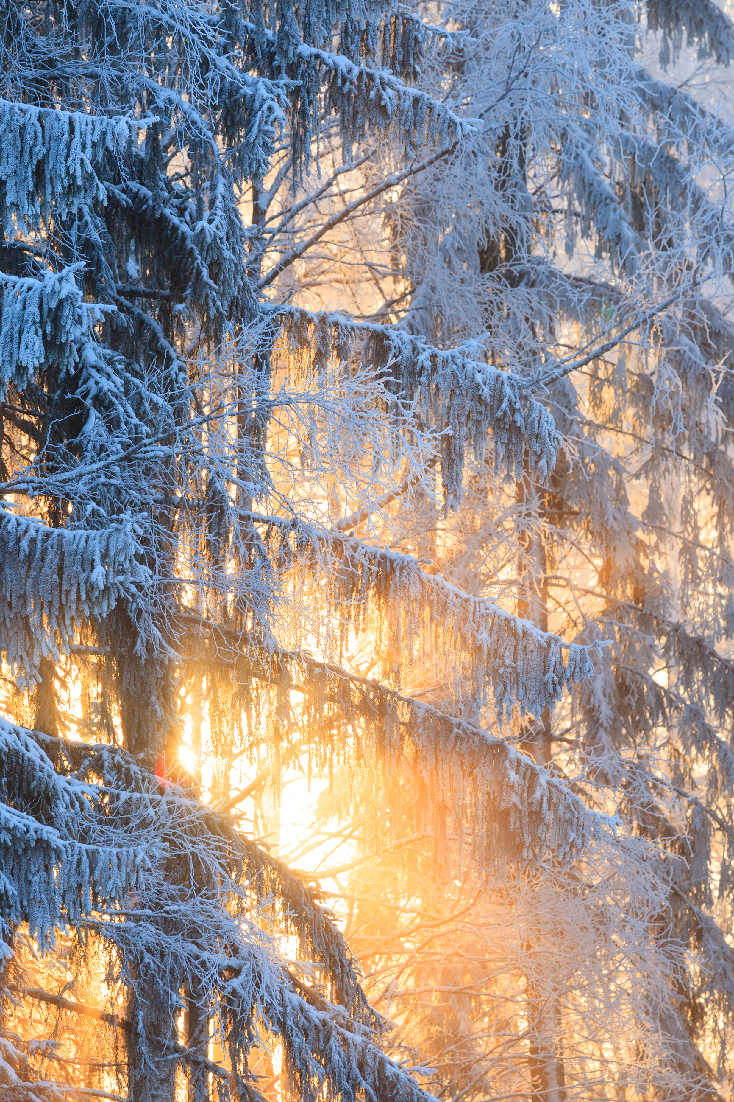 10540260-sun-rays-through-frosty-trees