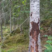 Barkborren och andra skogliga utmaningar